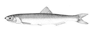 Engraulis Encrasicolus
